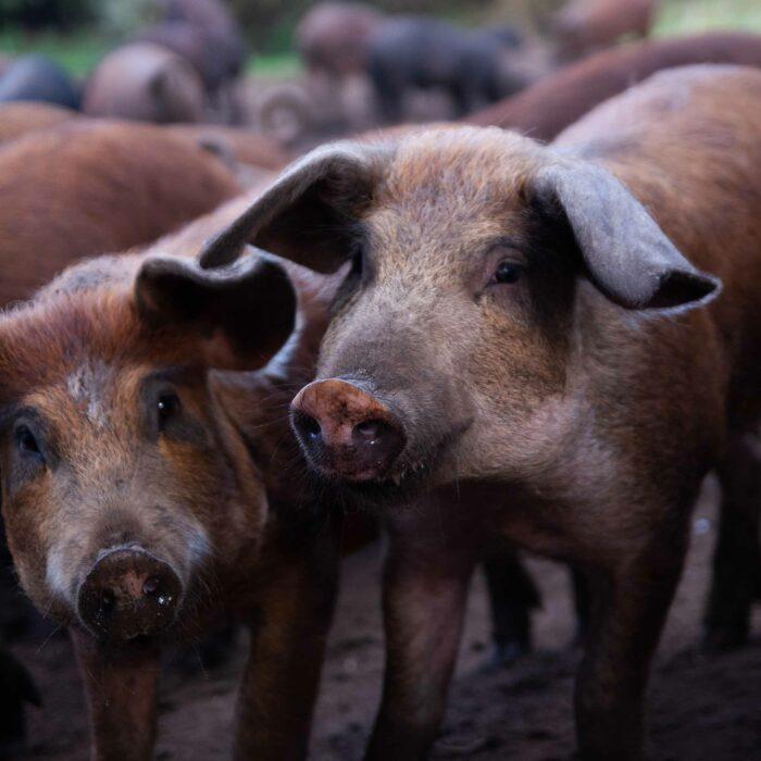 HindsholmGrisen pigs