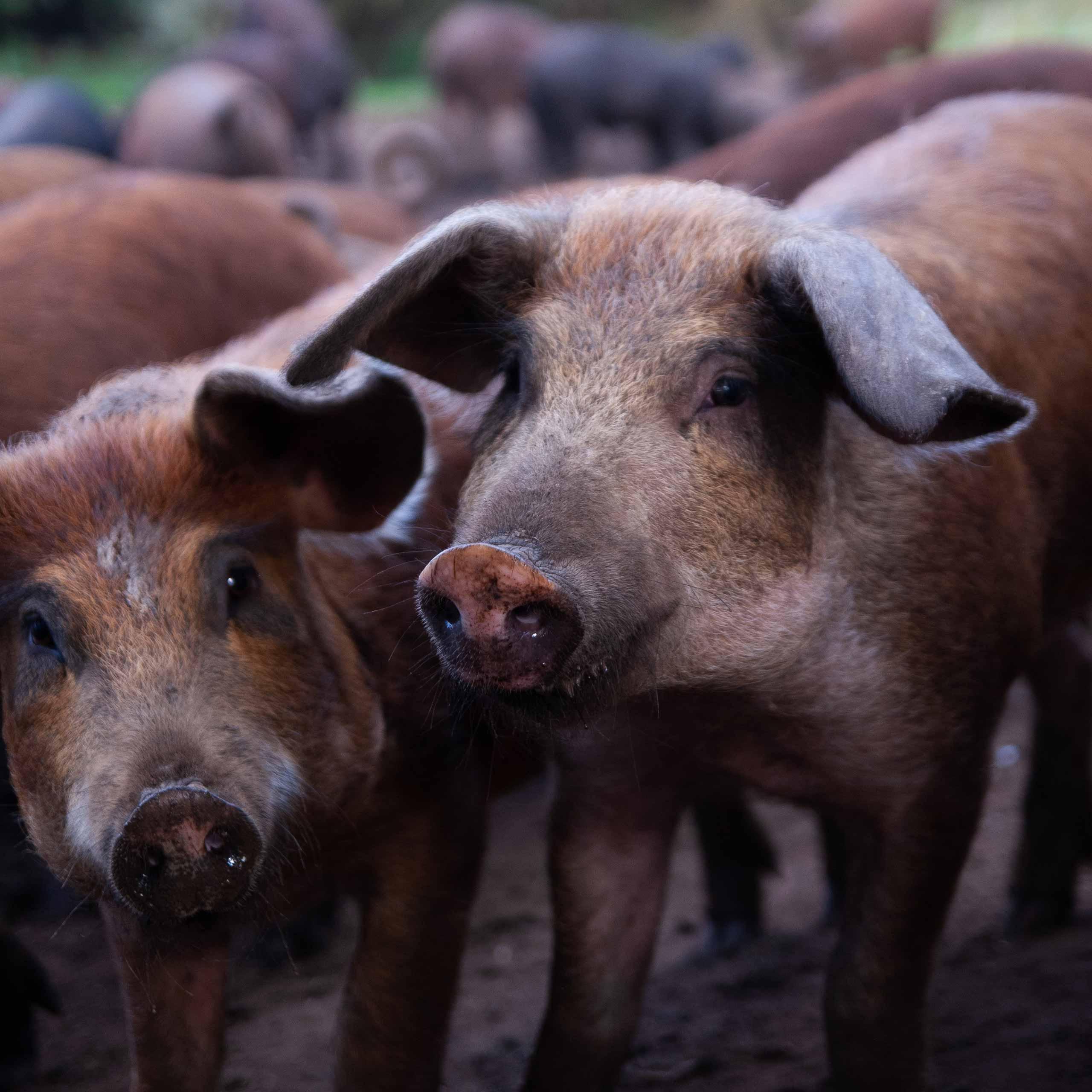 HindsholmGrisen's Pursuit of Ethical Animal Husbandry